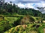 Rice Field.jpg